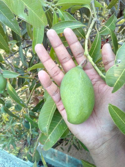 Mango Nature Natural .