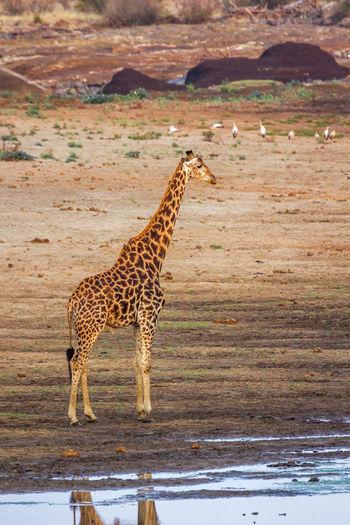 Giraffe standing on land at sunset
