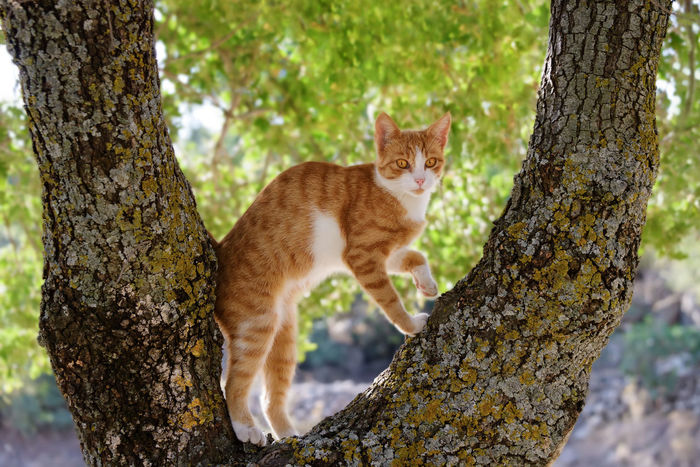 An orange and white kitten climbing curiously on a tree Climb Curious Cat FUNNY ANIMALS Ginger Cat Nature Perch Standing Tree Tree Branches Animal Cat Climbing Climbing Trees Cute Cute Cats Feline Ginger Cats Kitten Kittenish Observation Spot Orange And White Cat Orange And White Tabby Pet Playful Cat Pet Portraits