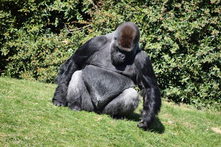 gorilla Ape Beauval Female Gorilla Gorille Green Male Monkey Outdoors Power Primate Strong Zoo