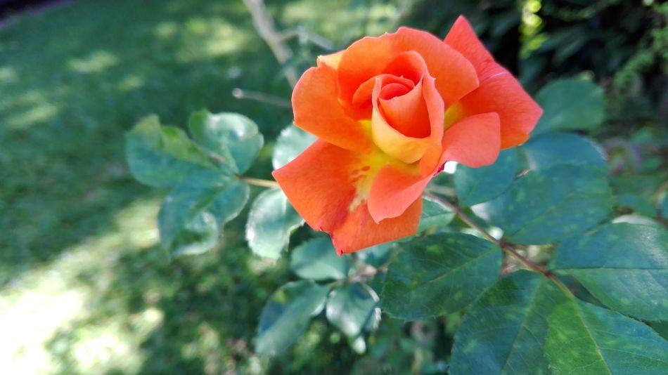 Flor Rosa Hermoso Fragil Primavera Delicado Petalos Beauty Fragile Flower Petals Flowers Spring Delicate