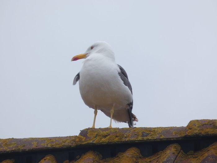 Möwe Bird