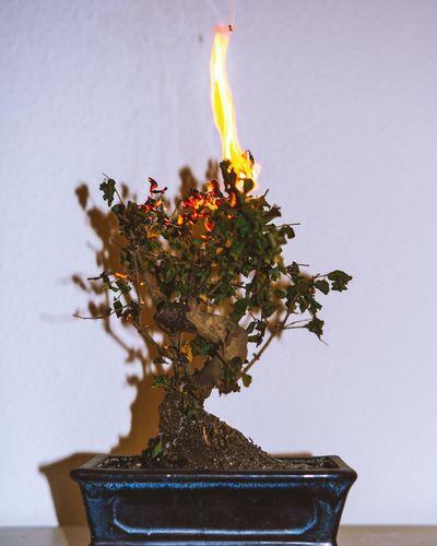 Burning Burning Bonsai Burning Wood Fire Flash Bonsai Growth Flower Close-up White Background