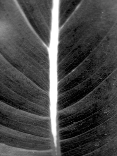 Close-up No People Backgrounds Indoors  Day Full Frame Leaf Black And White Texture Abstract Maximum Closeness