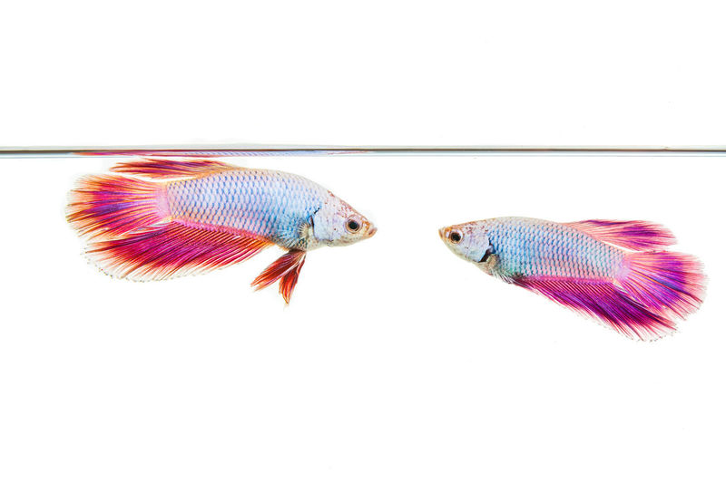 Colorful guppy