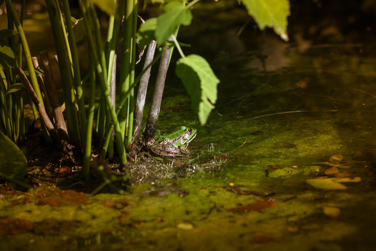 View of frog in water
