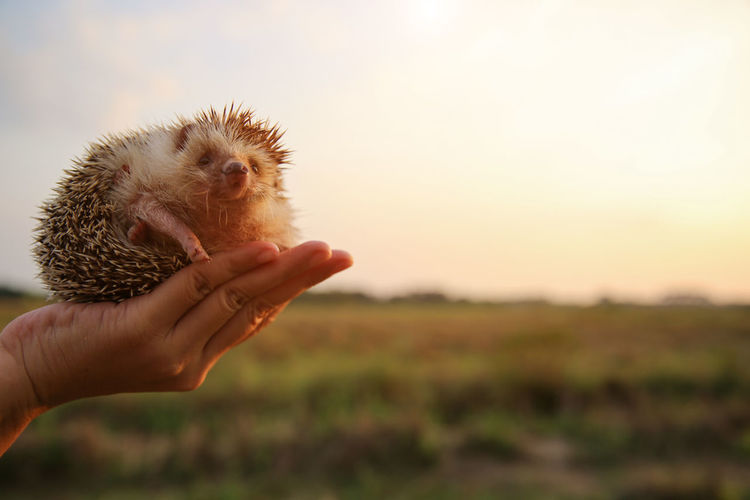 Human Hand Hand One Animal Holding Human Body Part One Person Focus On Foreground Mammal Real People Animal Wildlife Nature Vertebrate Sky Sunset Pets Domestic Land Hands Cupped Finger Human Limb Hedgehog