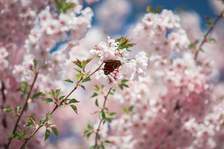 Close-up of insect on pink cherry blossom
