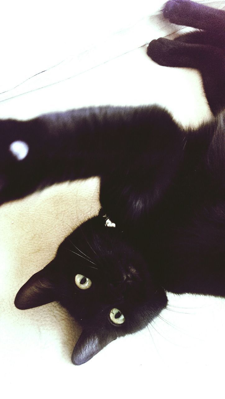 domestic cat, pets, domestic animals, mammal, feline, one animal, animal themes, cat, black color, portrait, indoors, looking at camera, no people, whisker, lying down, close-up, siamese cat, day