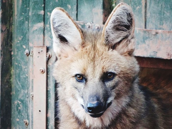Maned wolf face. Animal Face Face Wildlife Animals Animal Animal Head  Dogs Dog Canine WOlves Wolf Looking At Camera Portrait Mammal One Animal Animal Themes Day Close-up Domestic Animals Outdoors No People