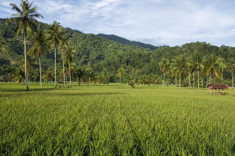 Plant Landscape Tree Land Environment Agriculture Green Color Beauty In Nature Rural Scene Field Scenics - Nature Tranquil Scene Sky Grass Nature Tranquility Palm Tree Growth Crop  Day No People Outdoors Rice Paddy Rice - Cereal Plant