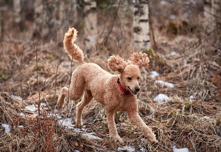 Animal Animal Portrait Animal Themes Day Dog Dog Portrait Domestic Animals Forest Happy Mammal Nature No People One Animal Outdoors Pets Poodle Spring Standard Poodle