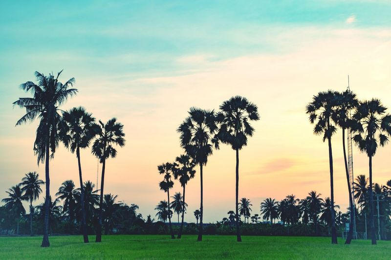 Rice farm with tree palm beautiful nature in evening. Sky Rice Farm Beautiful Tree Sunset Grass Field Beauty In Nature Palm Tree Nature Summer