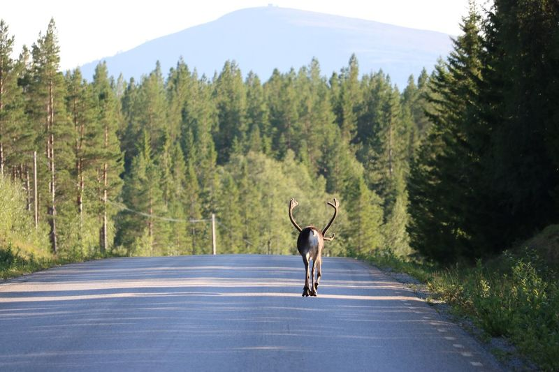 Reindeer in the road Tree Plant Transportation One Person Road Rear View Full Length Nature Day Real People Lifestyles Scenics - Nature Leisure Activity Mountain Sport Forest Riding The Way Forward Bicycle Growth