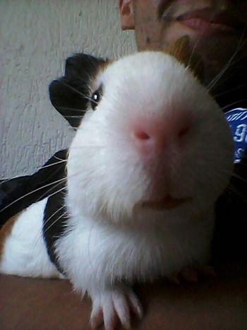 O bolinha de pêlos, Messi. Porquinho da Índia. Animais Animal_collection Playing With The Animals