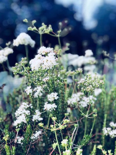 Peace Plant Growth Flower Flowering Plant Beauty In Nature Fragility Vulnerability  Day Freshness No People Green Color Land Outdoors Focus On Foreground Flower Head Field Nature Close-up White Color Tranquility EyeEmNewHere Summer Exploratorium Visual Creativity