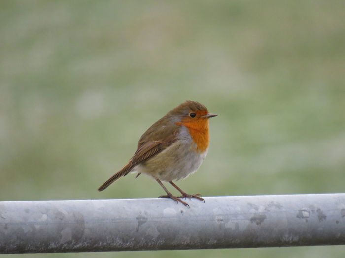 Bird Photography Birds Of EyeEm  December Field Winter Animal Themes Animal Wildlife Animals In The Wild Beauty In Nature Bird Close-up Day Fence Focus On Foreground Landscape Nature No People Non-urban Scene One Animal Outdoors Perching Robin Robin Redbreast Rural Scene Snow