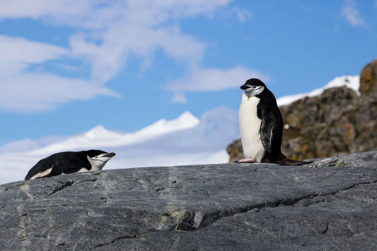 Close-up of penguins perching on rock against sky