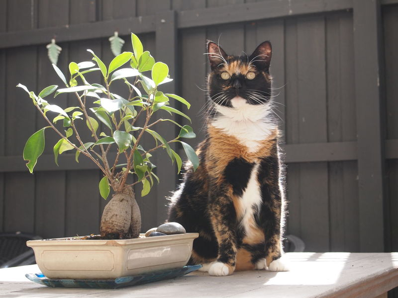 Cute Torty with Bonsai Animal Themes Cat Day Domestic Animals Domestic Cat Feline Mammal No People One Animal Pets Plant Portrait Sitting