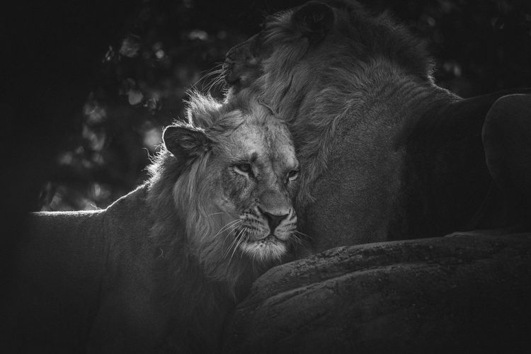 Close-Up Of Lions Snuggling