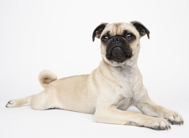 Pug Animal Animal Themes Canine Dog Domestic Domestic Animals Indoors  Looking At Camera Lying Down Mammal No People One Animal Pets Portrait Purebred Dog Relaxation Resting Sitting Small Studio Shot Vertebrate White Background