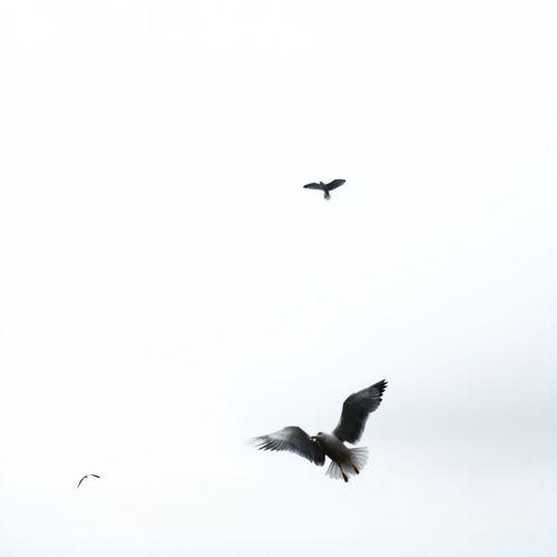 Attack EyeEm Best Shots EyeEm Nature Lover EyeEm Best Edits EyeEm Gallery Eye4photography  Birds Birds Of EyeEm  Flying Fly Seagull