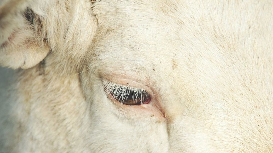 Animal Body Part Animal Eye Animal Head  Close-up Day Domestic Animals Livestock Nature No People One Animal Outdoors