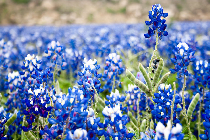 Field of Texas bluebonnets. Beauty In Nature Blue Bluebonnet Close-up Day Flower Flower Head Flowers Fragility Freshness Growth Lubine Nature No People Outdoors Plant Purple State Flower Texas Texas Hill Country Texas Landscape Textured  Wildflower