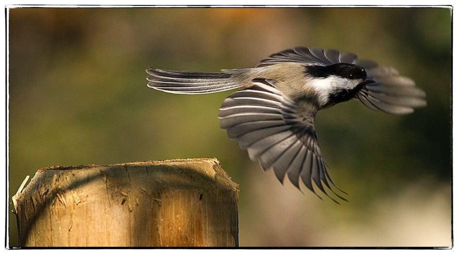 Chickadee in