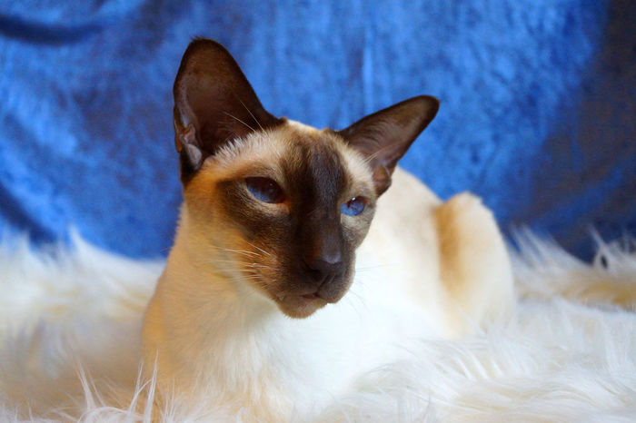 Adorable Alertness Animal Head  Animal Themes Animals Beautiful Beautiful Animals  Blue Eyes Cat Cat Eyes Cats Cats Of EyeEm Domestic Animals Eyes Feline Fur Gato Looking At Camera Mammal One Animal Pets Portrait Relaxing Shorthair Siamese Cat