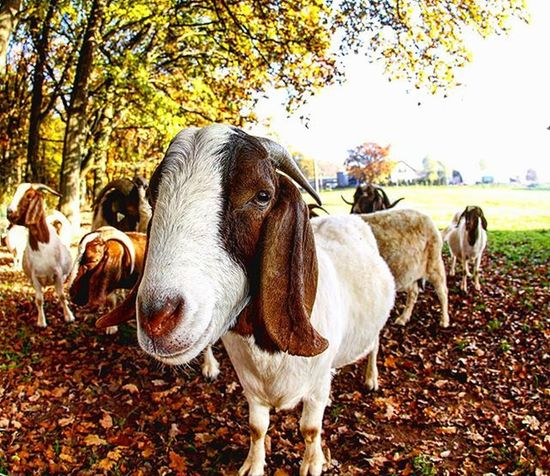 Hello, my name is Herbert and this is my troop. We consume all day long grass, relax, sleeping and after that we just relax again. Good life Photography Canon_official Animal Animals Petstagram Autumn Geiler Bock Love My Hobby Walking In The Nature Canon Instalike Instagood Bestoftheday Sunny Grass Picoftheday