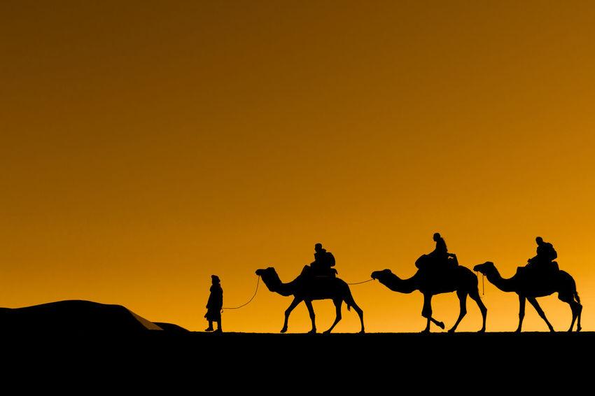 Berber man guides camel trekking group on the dunes of the Sahara Desert. Dunes Sahara Desert Beauty In Nature Camel Camel Trekking Clear Sky Desert Domestic Animals Dune Dunescape Mammal Orange Color Outdoors Riding Silhouette Sillouette Sky Sunset Working Animal
