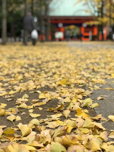 Ginkgo and shrine/神社の落葉 Leaf Yellow Autumn Large Group Of Objects Abundance Day Outdoors Architecture Close-up Nature No People