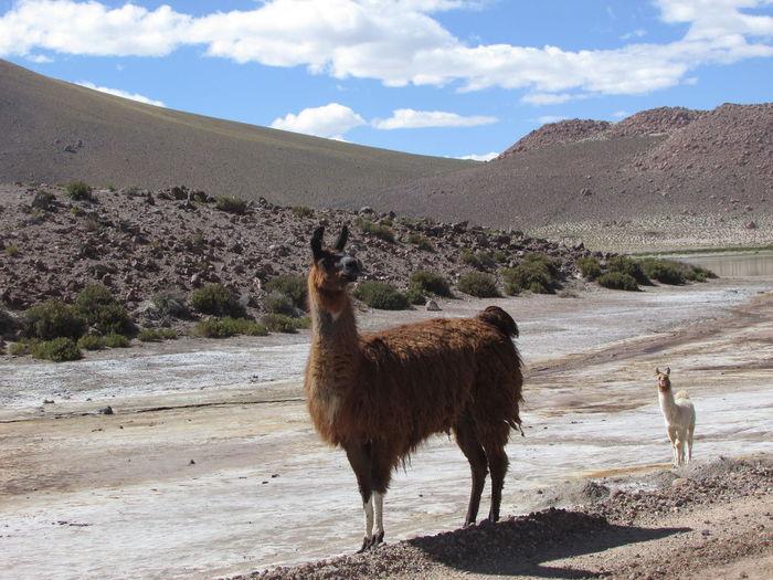 EyeEm Selects Chile♥ Chileesbello Desert Day No People Blue Tranquility Travel Destinations Atacama Desert Chilelindo  Mountain Sanpedro Outdoors Travel fauna propia del altiplano chileno, en una comunidad ubicada a 4000 msnm llamado Machuca en San Pedro de Atacama, Chile