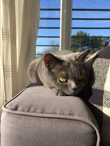 Ganz entspannt die Sonne genießen Katze Muss Man Sein Katze Die Sonne Genießen Schönes Wetter Britischkurzhaar