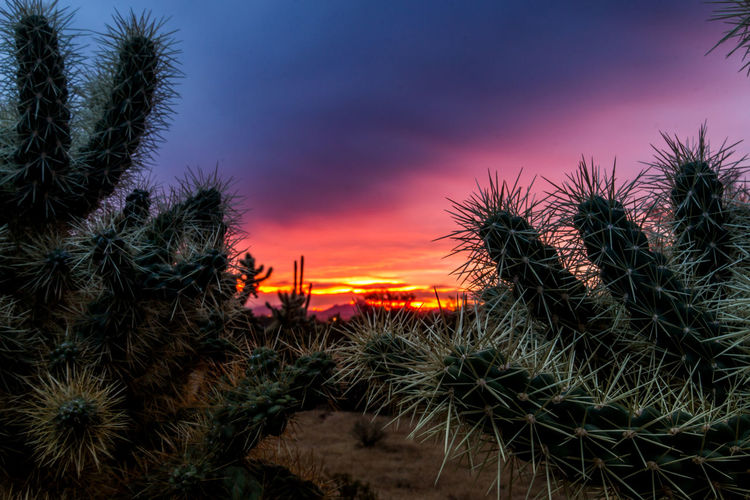 Arizona Beauty In Nature Composition Cylindropuntia Fulgida Firework Display Cacti Glowing Nature No People Outdoors Needles Perspective Sky Tranquility Maraña Spines Danger Painful Sunset Photography Pink Purple Blue Colorful Desert Sonoran Desert