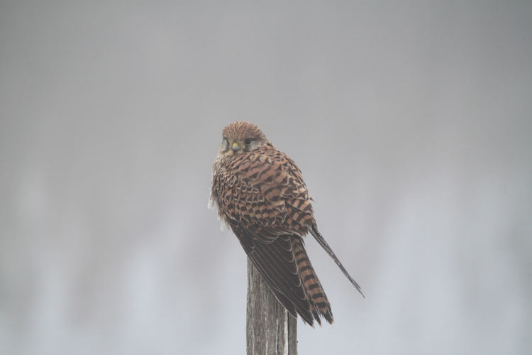 Low angle view of eagle perching on wooden post against sky