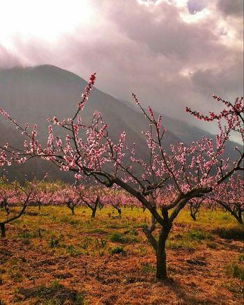 Beautiful Nature Trees Peachtree Flower Peach Blossom Eyeem Natur Lover EyeEm Trees