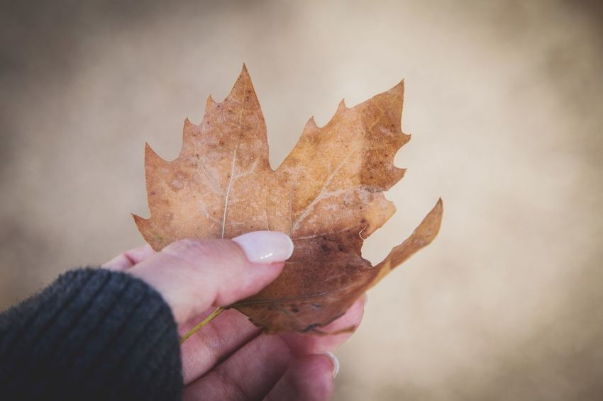 Flowers in December EyeEm Gallery What's Left Of Me December EyeEm EyeEm Best Shots EyeEm Nature Lover EyeEm Selects Human Hand One Person Holding Human Body Part Human Finger Real People Leaf Autumn Maple Leaf Close-up Outdoors Nature White Background Maple Women Day