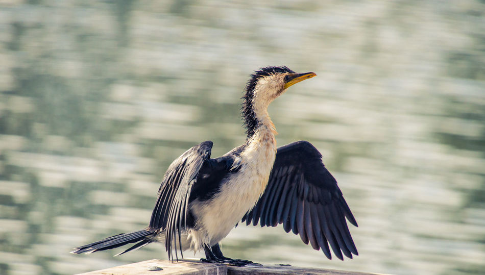 Little pied cormorant sunning itself Beautiful Wings Beauty In Nature Bird Close-up Cormorant  Day Drying Wings In Sun EyeEm Nature Lover Feather  Little Pied Cormorant Nature Outdoors Sea Bird Showcase April Spread Wings Sunning Themselves Waterfront Wildlife