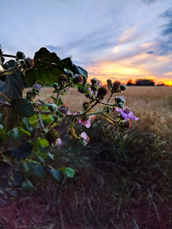 Floral Sunset Sunset Outdoors No People Focus On Foreground Freshness Plant Flowers Orange Green Pink Growth Nature Tree Day Beauty In Nature Sky Blackberry Blackberries Blackberry Flowers Spikes Unripe Fruits
