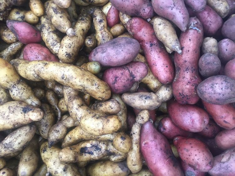 Vegetable. Root. Potato. Colors. Red. White. Yellow. Gold. Organic. Root. Healthy Eating Food Purple Root Vegetable No People For Sale Organic Marketplace