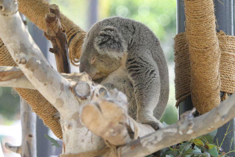 Close-up of koala sitting on tree