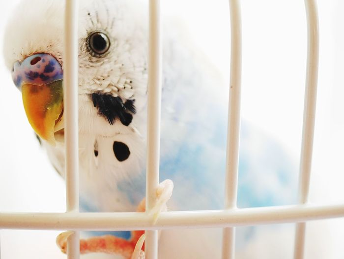 Close-up of parakeet in birdcage