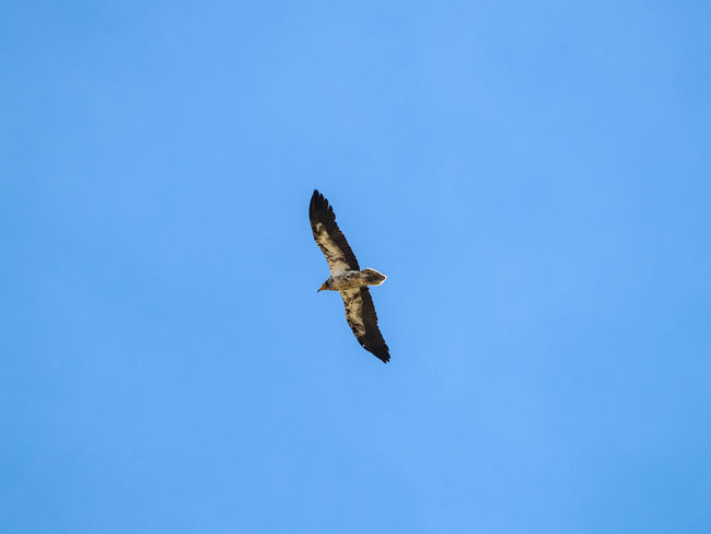 Animal Themes Animals Animals In The Wild Animals In The Wild Biodiversity Bird Bird Of Prey Clear Sky Day Egyptian Vulture Environment Fly Flying From My Point Of View Low Angle View Nature Neophron Neophron Percnopterus No People One Animal Outdoors Spread Wings Vulture Wildlife