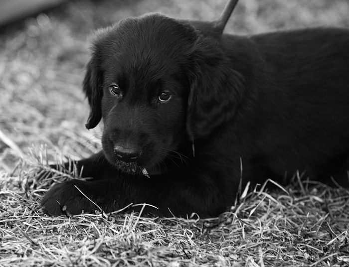In the park. Wingmaster's Vesuvius B&w Dog Small Black Fur Eyes Flat Coated Retriever Dog Portrait Portrait Dog Pets One Animal Animal Domestic Animals Puppy Portrait Animal Themes Retriever Close-up