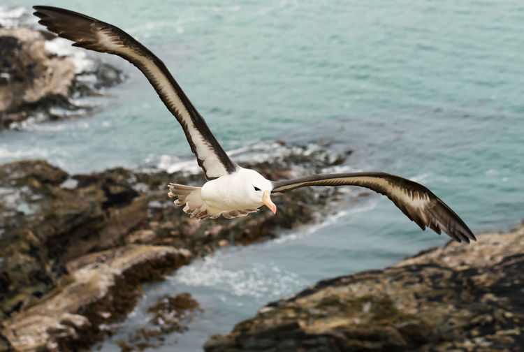 High angle view of albatross flying over sea