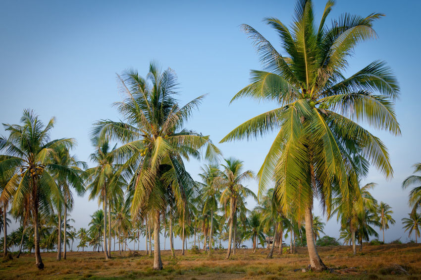 Coconut palm trees at side of tropical beach with blue sky Beauty In Nature Clear Sky Coconut Palm Tree Day Environment Green Color Growth Land Landscape Low Angle View Nature No People Outdoors Palm Tree Plant Scenics - Nature Sky Tranquil Scene Tranquility Tree Tropical Climate Tropical Tree