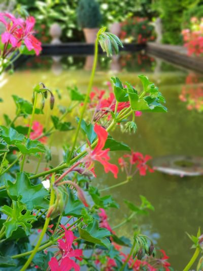 Enjoying peacefully by the waterside Vacation Vacations Vacation Time Vacation Destination Vacation Time ♡ Vacation2018 Red Red Color RedFlowers😍 Water Water Reflections Quality Time Quiet Moments Enjoying Life Enjoying The View EyeEm Best Shots Photooftheday Photigraphylover Happiness Capture The Moment Capture The Light Peace And Quiet Peace Flowers,Plants & Garden DreamGarden Greenhouse Flowering Plant Plant Life Botanical Garden Wildflower