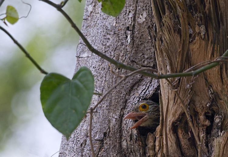 Lineated Barbet (Megalaima lineata) Animal Animal Themes Animal Wildlife Animals In The Wild Vertebrate One Animal Bird Tree Tree Trunk Trunk Plant No People Nature Day Perching Robin Close-up Outdoors Focus On Foreground Branch